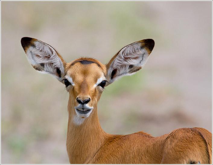 impala-4294.jpg