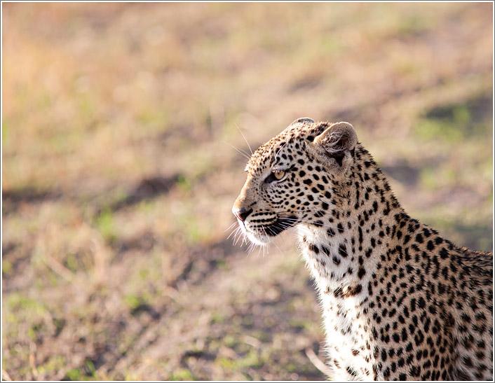 leopard-4.jpg
