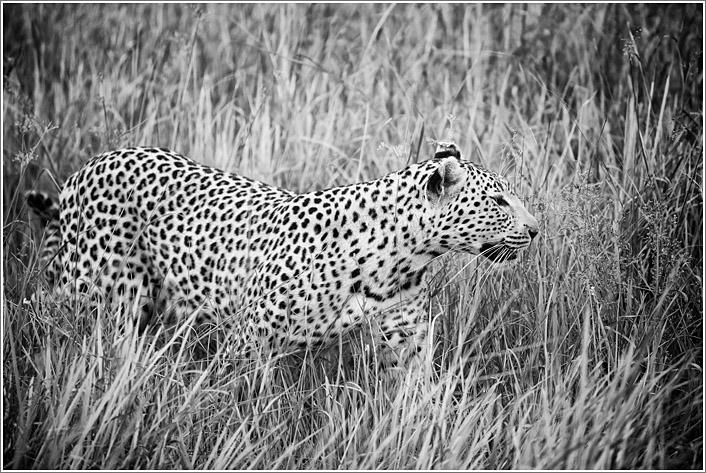 leopard-5.jpg