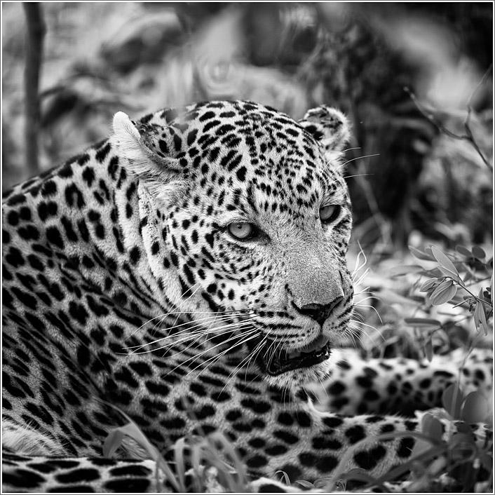 leopard-6.jpg
