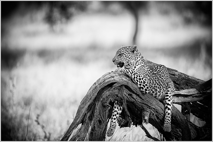 leopard-9.jpg