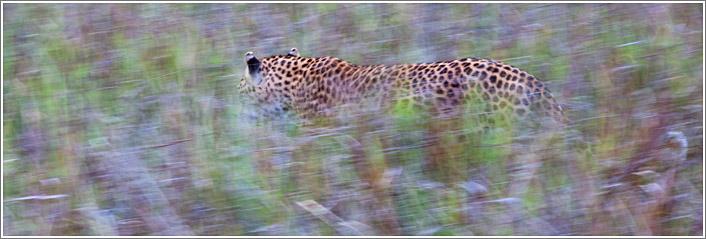 leopard-10.jpg