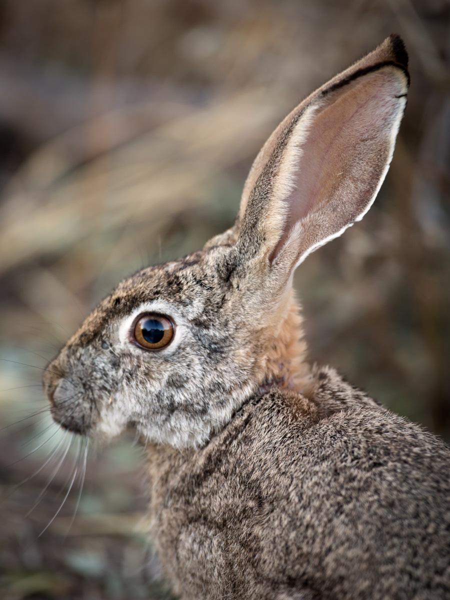 Srub hare: Canon 5D mk3, 500mm F4.0 @f4.5, 1/160, ISO800