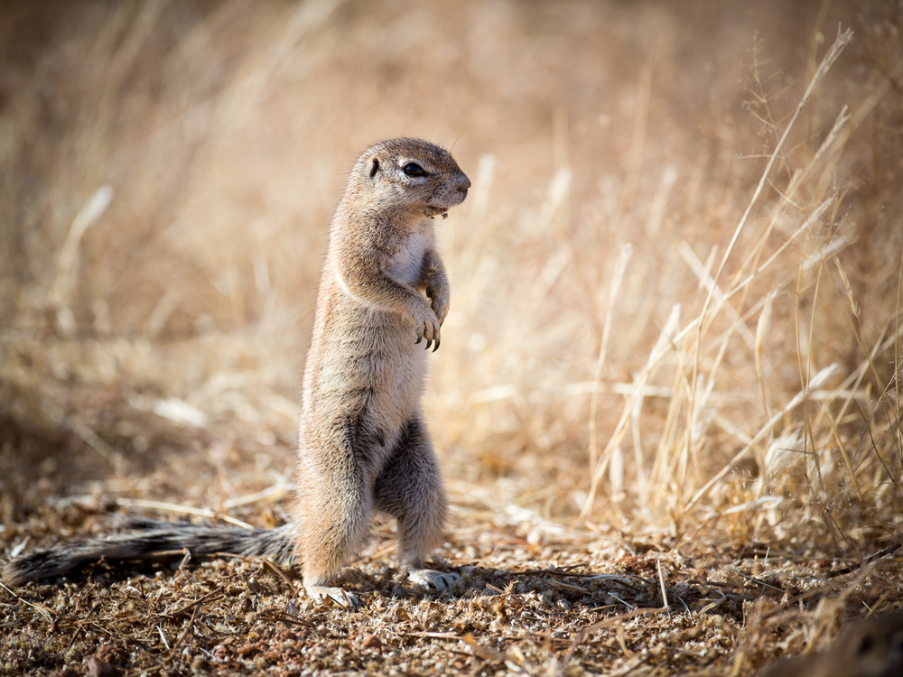 Ground Squirrel (Namibia): Canon 5D mkiii, 500mm F4 @ f4.0, 1/2000, ISO250