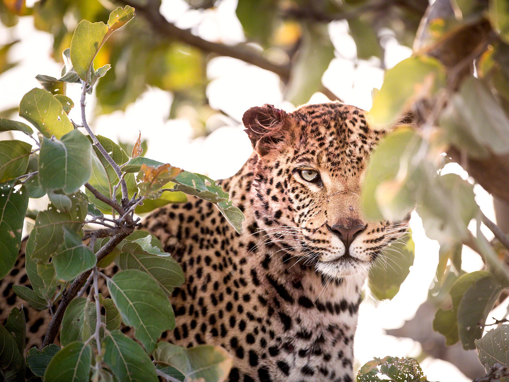 Femaile Leopard: Canon 5D mk3, 500mm F4.0 @ f4.0, 1/1000, ISO1000