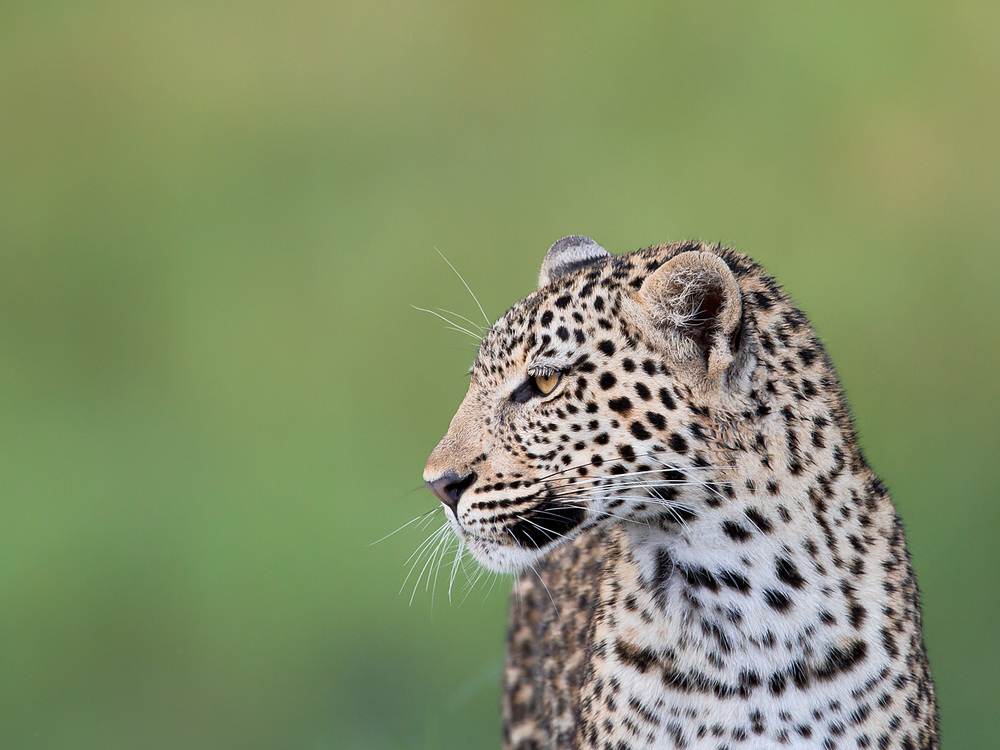 How the leopard should look - 'popping' out of the background.