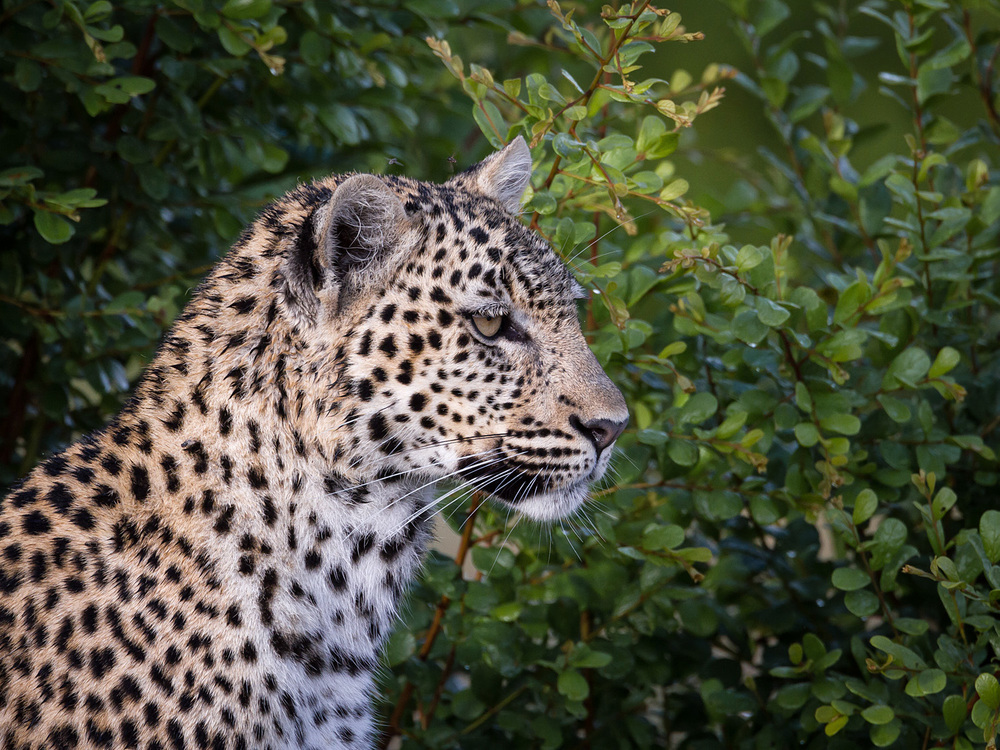 The same leopard earlier on when it was too close to vegetation.