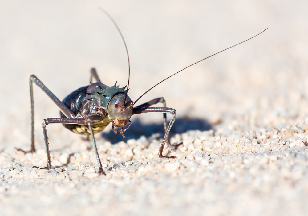 A bush cricket shot with a telephoto lens.