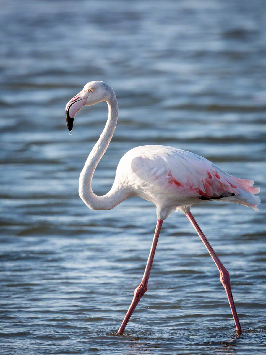 Walvis Bay Flamingo - Canon 5D Mark III, 500mm+1.4x, f8.0, 1/1000 sec, ISO 640