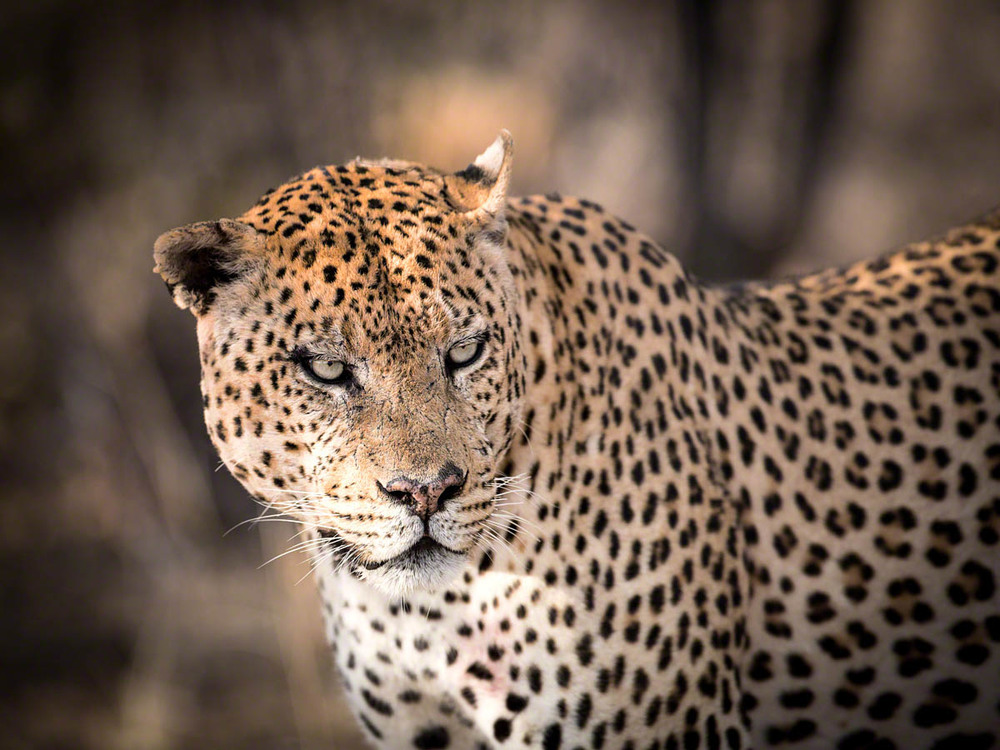 A big male leopard - Canon 5D Mark   III, 500mm, f4.0, 1/1250 sec, ISO 500