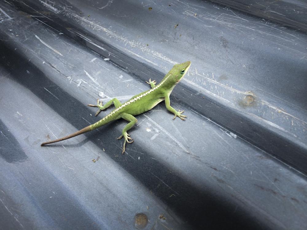 Mr Lizard_1.jpg