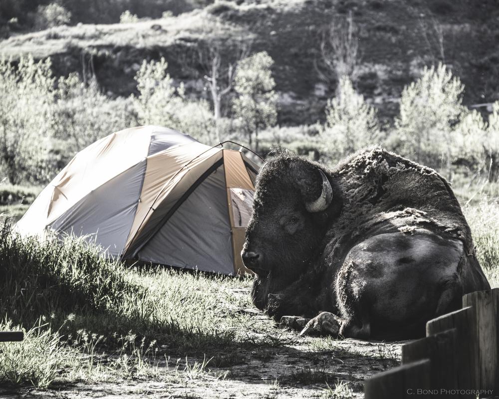 Camping Bison