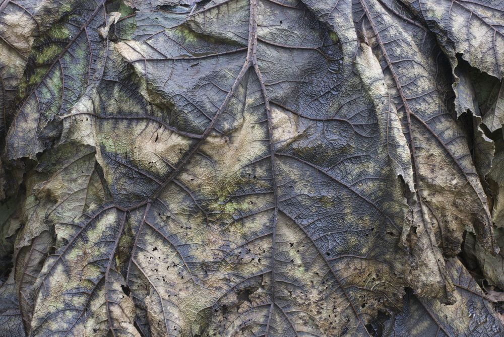 Beautiful colours and lines - a decaying Gunnera leaf