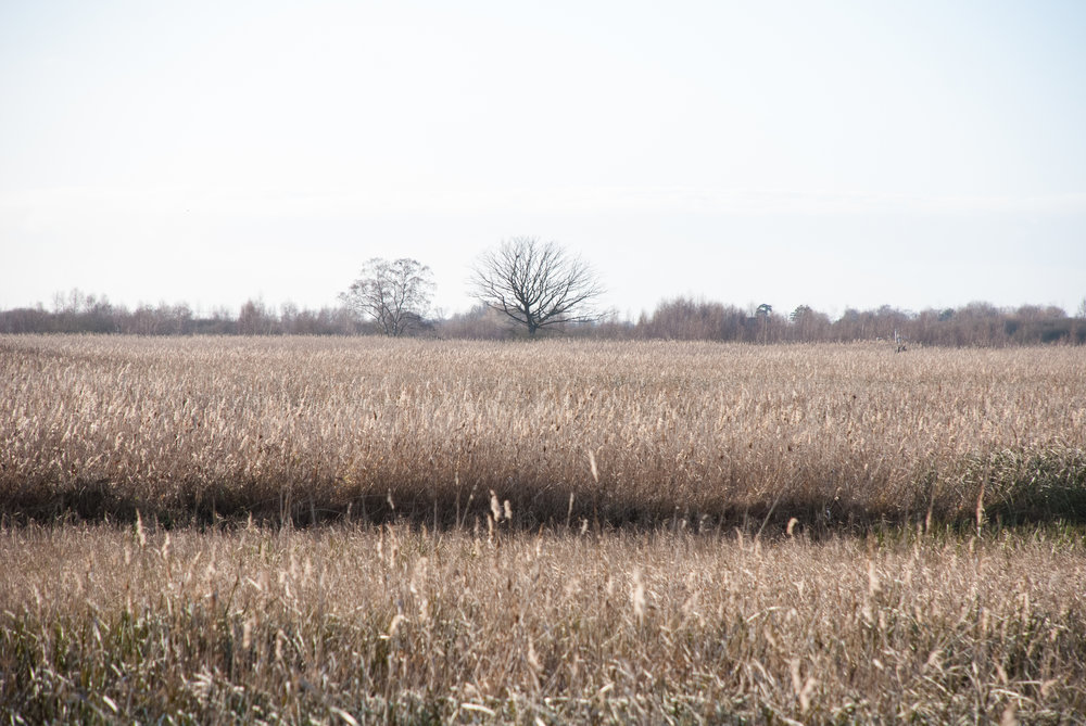 Reedbeds Helen Terry Wicken Fen.jpg