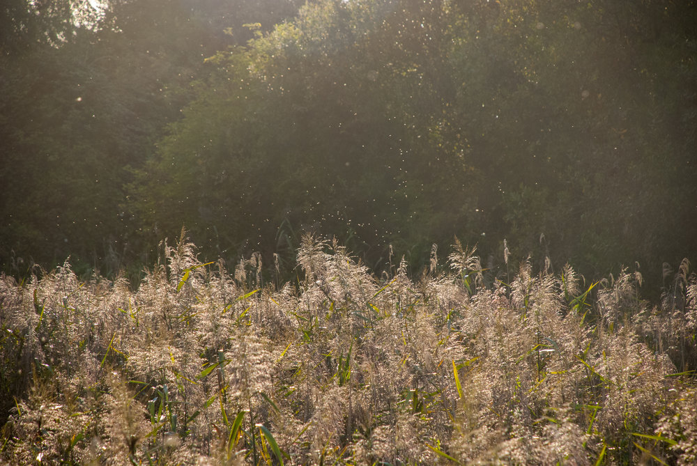 Reedbeds and midges summer Helen Terry Wicken Fen.jpg
