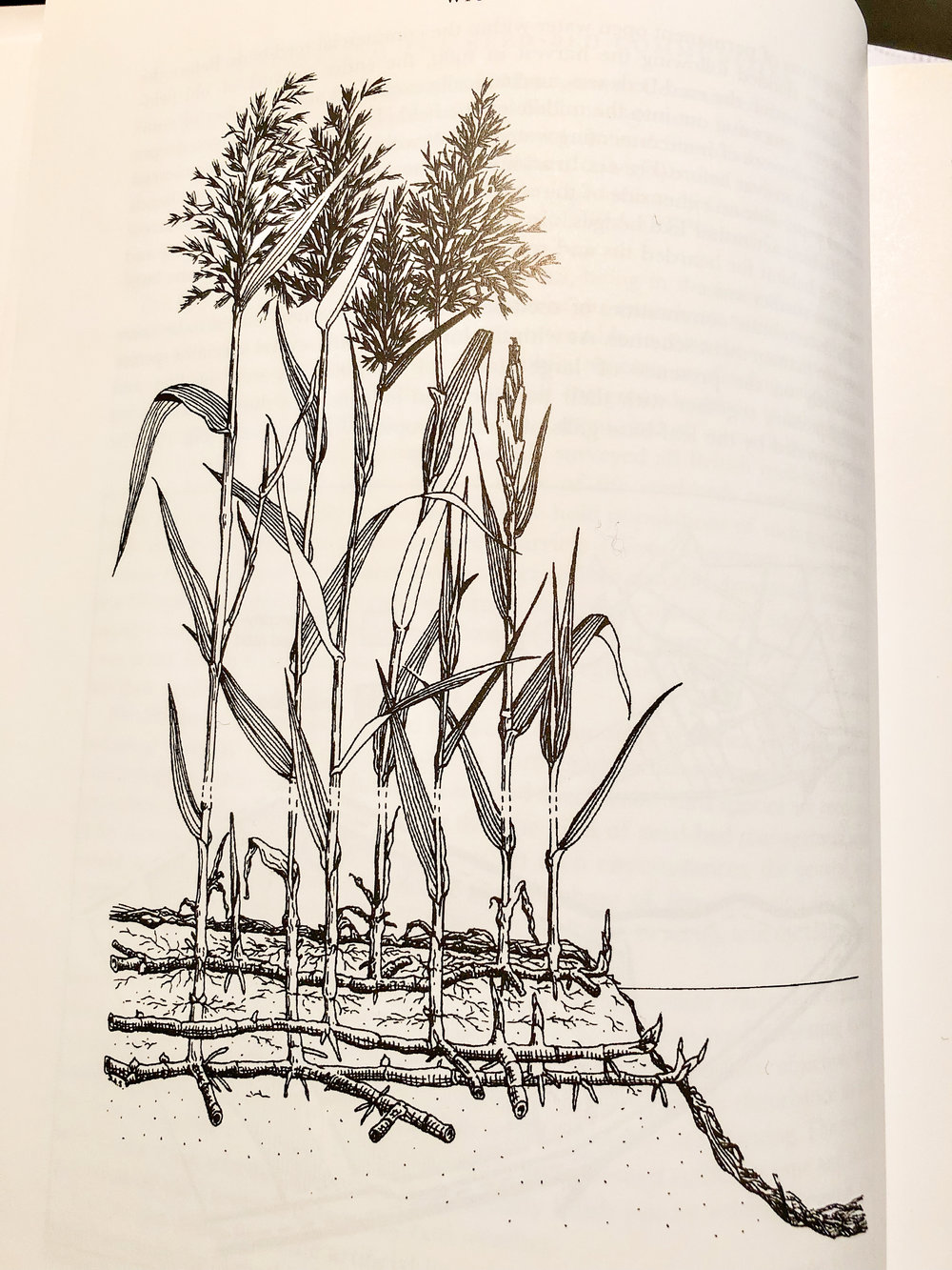 "Phragmites australis (illustration by D A Showler from ""Wicken Fen: the making of a wetland nature reserve"")."