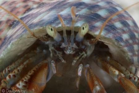 Common hermit Crab ( Pagurus bernhardus )