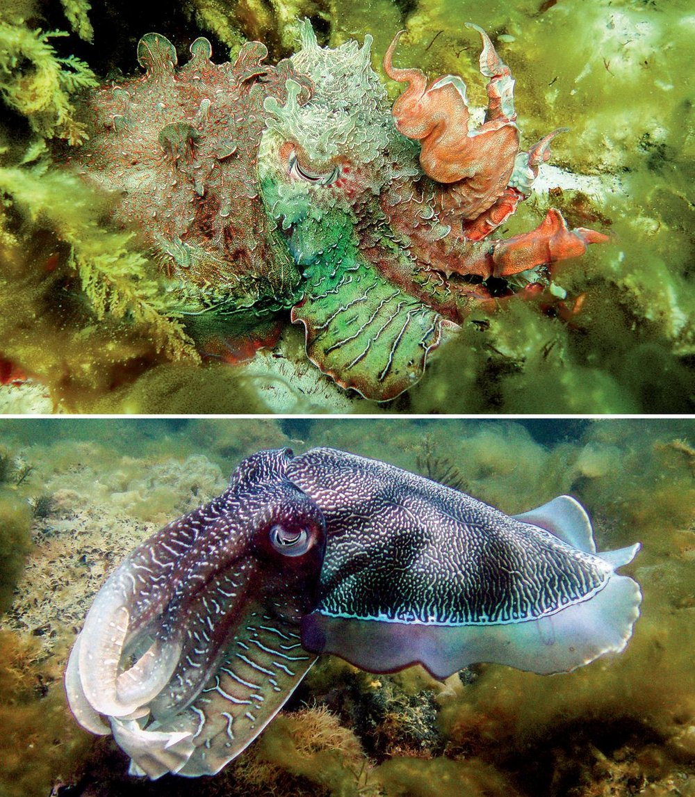 Photo by Justin Marshall (c) Spectacular changes to color and morphology in a cuttlefish. Color can conceal or reveal. The giant Australian cuttlefish (Sepia apama) alters the relative size of its pigment-bearing chromatophores and warps its muscular skin to switch between camouflage mode (top) and communication mode (bottom) in under a second.