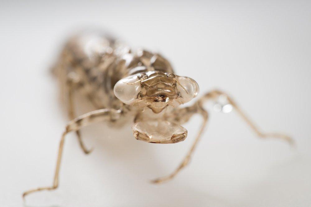 Dragonfly exuvia  - AEshna sp.