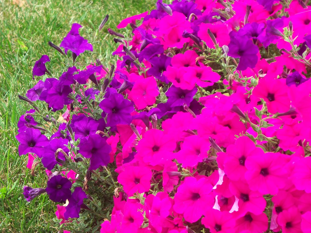 MY FAVORITE FLOWERS ARE HOT PINK & PURPLE PETUNIAS TOGETHER