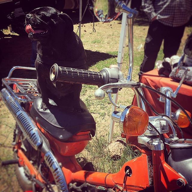 Even dogs love the Trail90! You really do meet the nicest people on a Honda...! #tinybikesbigchange #honda #trail90 #vintage #motorcycle #overlandexpo #pug #dogslovemotorcycles #motopug #motodog