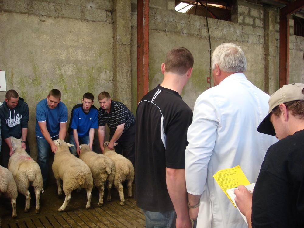 Sheep show.Dingle, Ireland
