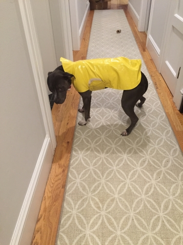The rain coat is practical, but Petunia is Not A Fan.
