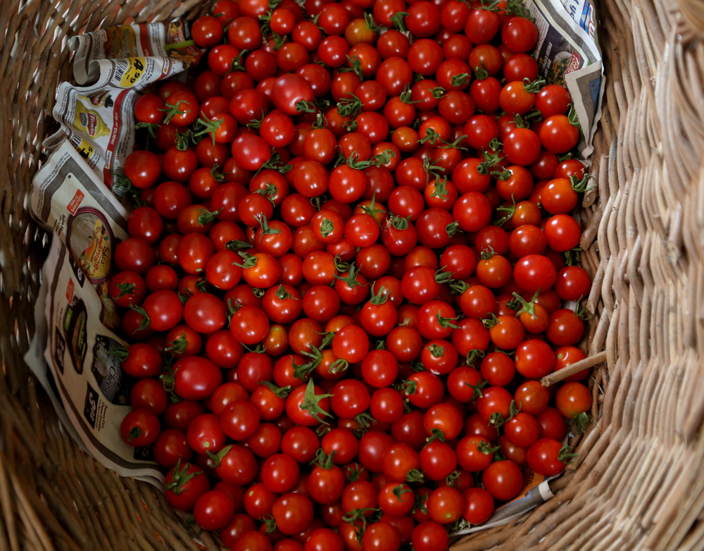 Summer farm program: cherry toms