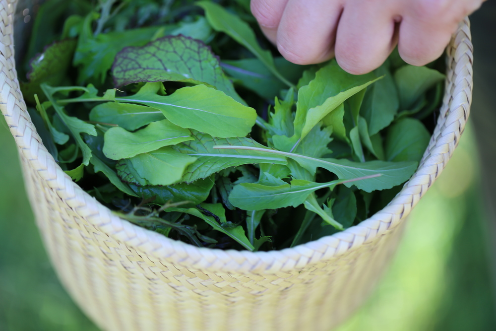 Summer farm program: mesclun greens