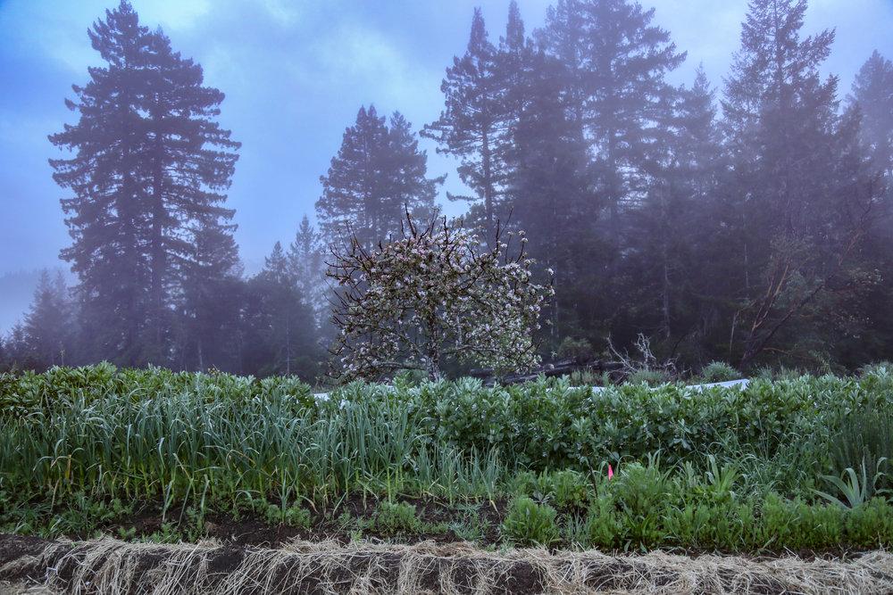Favas, Garlic, self seeded Nigella, Fuji apples