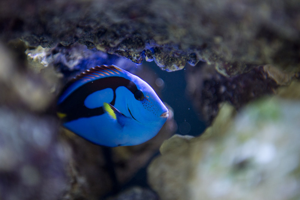 Dory, a palette surgeonfish, hides in a nook in the coral reef installment of the Maroon Lagoon, a 150 gallon saltwater aquarium in Texas A&M President Michael K. Young's office in the Administrative Building, Wednesday, May 4, 2016, on Texas A&M's campus in College Station, Texas.