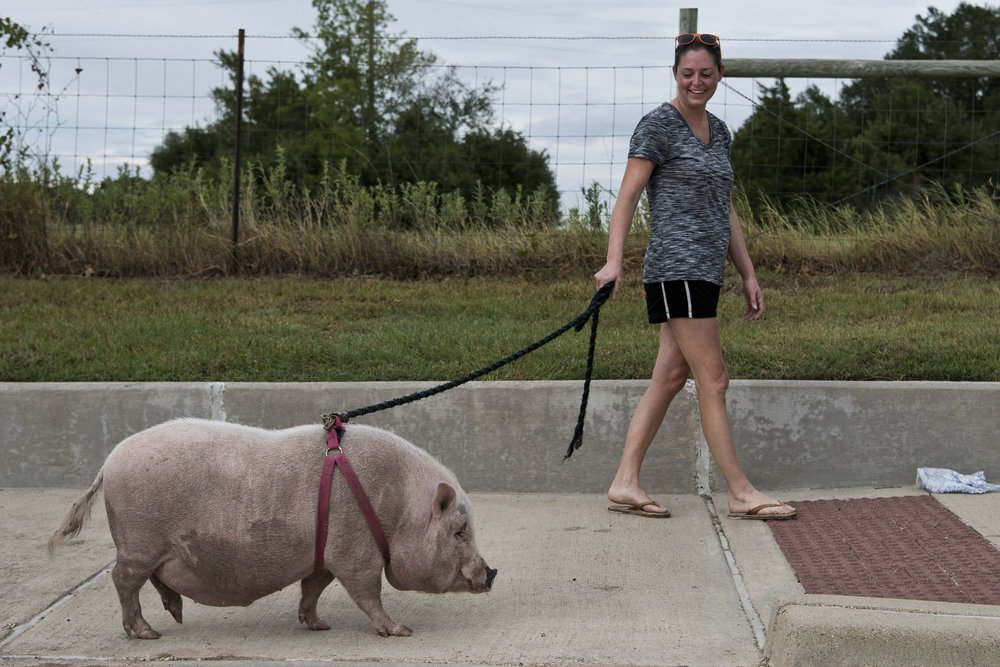 Bryan resident Lindsey Reichwein walks her rescued two-year-old potbelly pig Dandy, Thursday, July 28, 2016, in Brazos County, Texas. Reichwein says that Dandy gets plenty of attention on walks, gets along well with dogs, and exercises regularly.