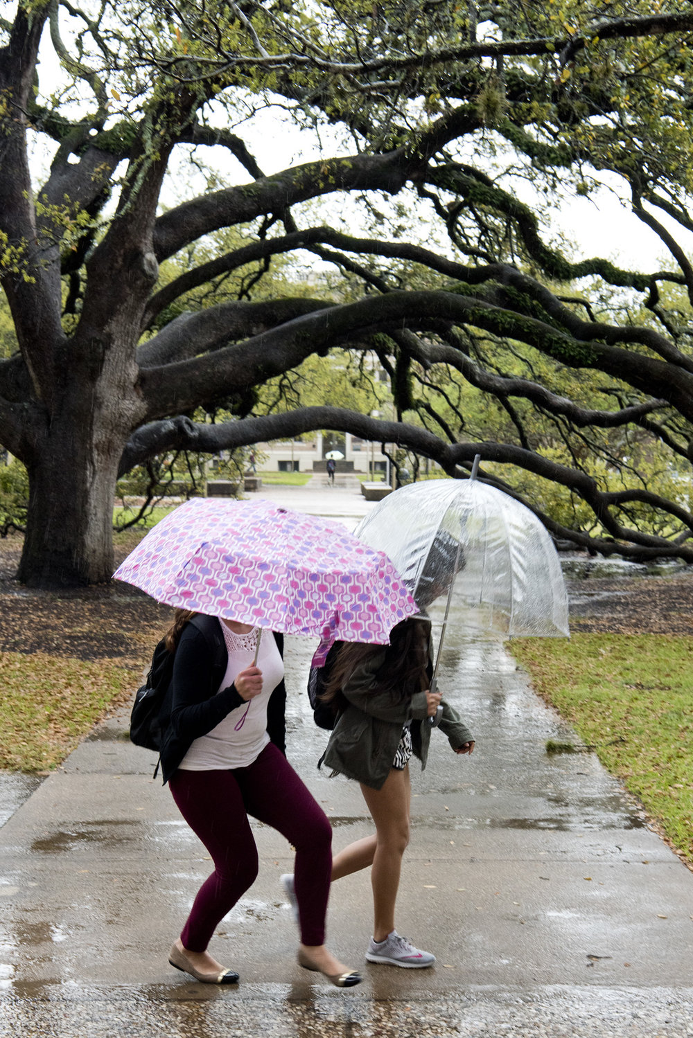Texas A&M University juniors Leticia Meza, left, and Francisca Yanez walk past the Century Tree on Texas A&M's campus between classes, Wednesday, March 9, 2016, in College Station, Texas.