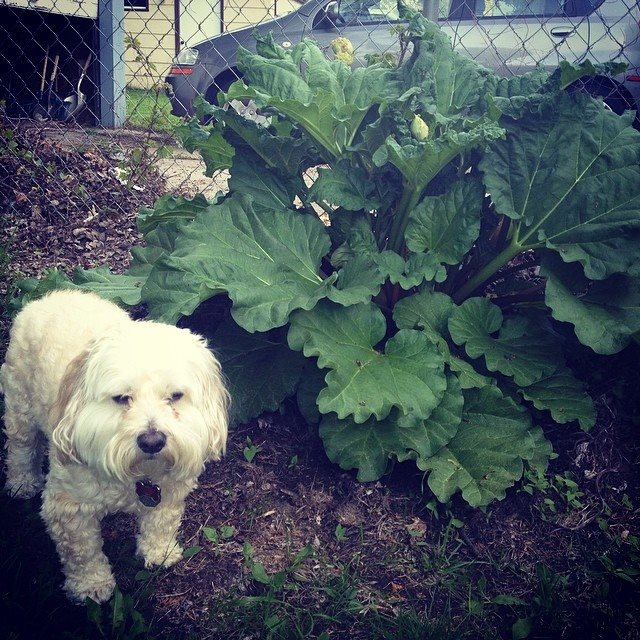 Chester, a 25-pound Cockapoo, is dwarfed by the size of our rhubarb plant already!