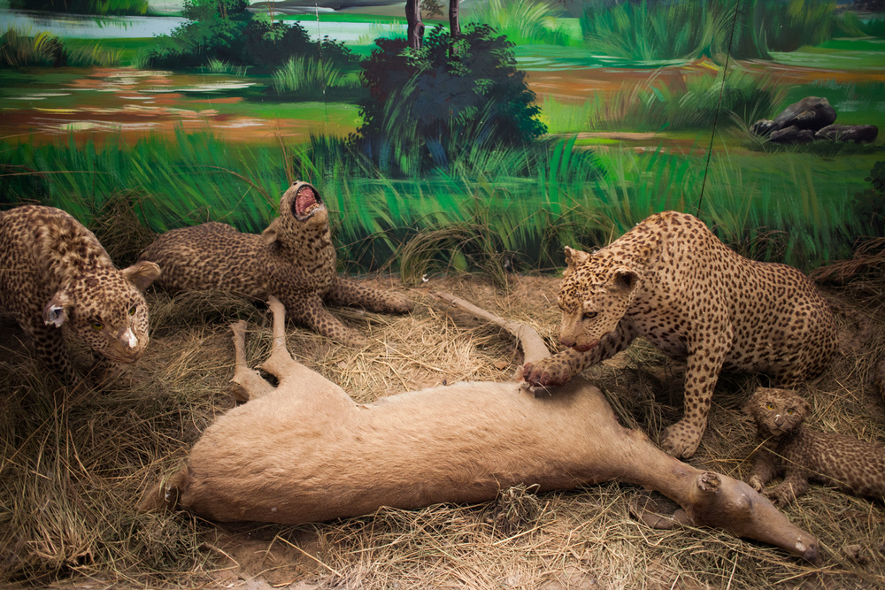 "25°58'37.5""S 32°35'12.7""E , 11/02/2014, 1425 Taxidermy, Museo de Historia Natural, Maputo"