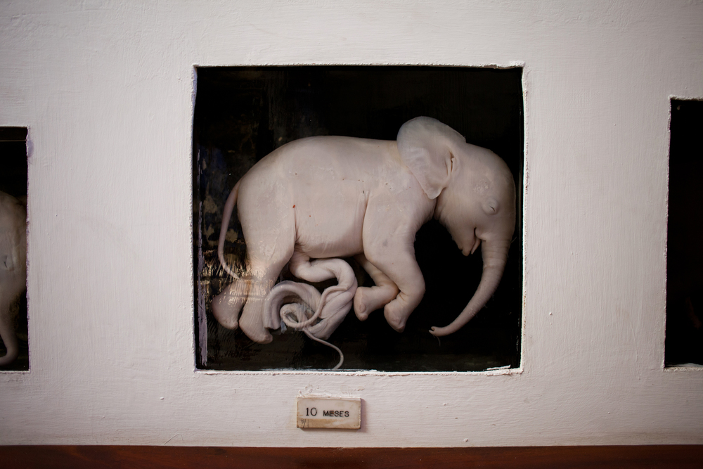 "25°58'37.8""S 32°35'13.8""E , 11/02/2014, 1445 Foetus, Museo de Historia Natural, Maputo"