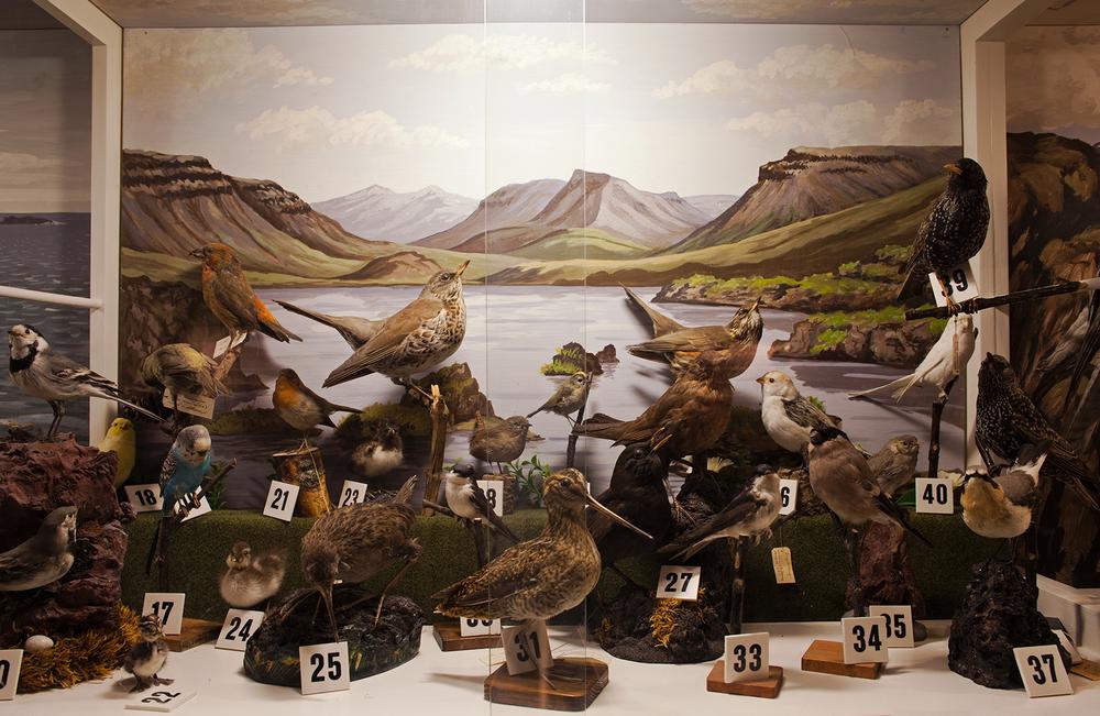 "66°04'22.8""N 18°38'45.5""W ,  07/01/2015, 1205 Waterbirds, Natural History Museum,  Ólafsfjörður, Iceland"