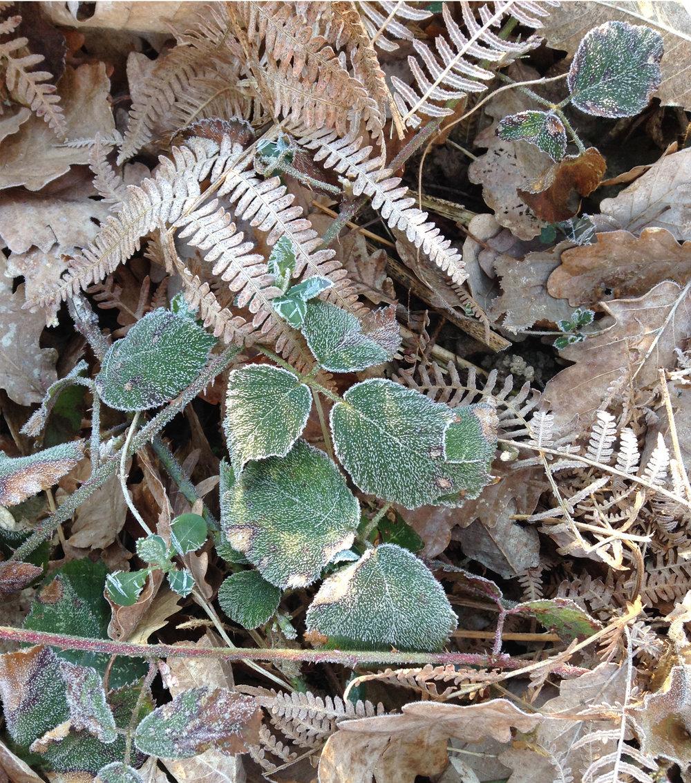 feuilles gelées.jpg