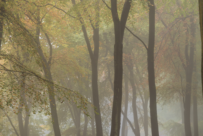 Beech Trees in the Mist I.jpg