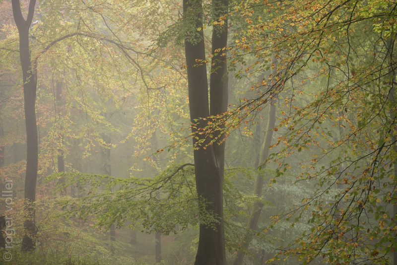 Beech Trees in the Mist II.jpg
