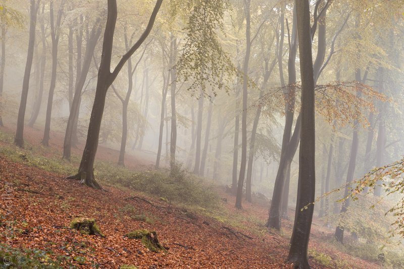 Beech Trees in the Mist III.jpg