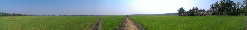Rice Paddy, Alleppey Backwaters