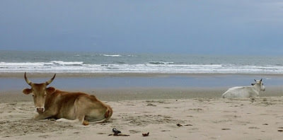 beach_cows.jpg