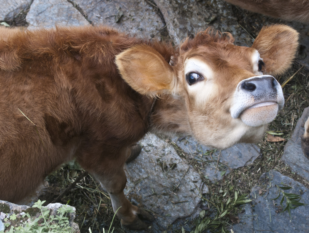 What are you looking at, Cow?
