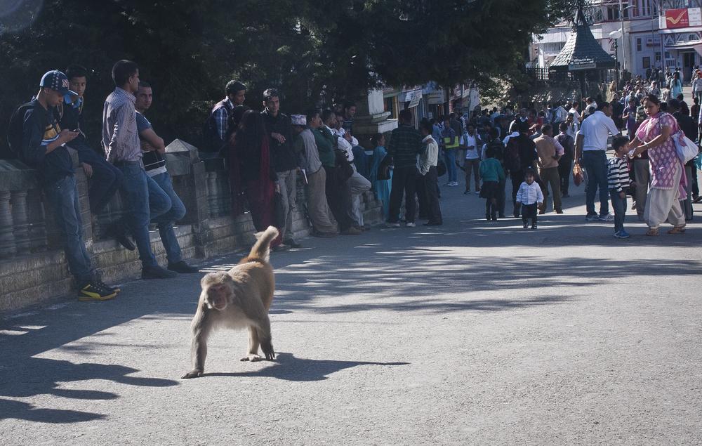 Monkeys run freely and dominate the city of Shimla.