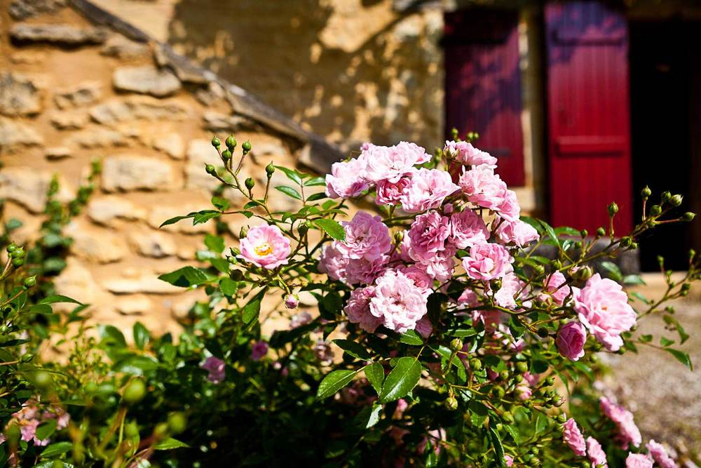 Bloeiende roos in juni