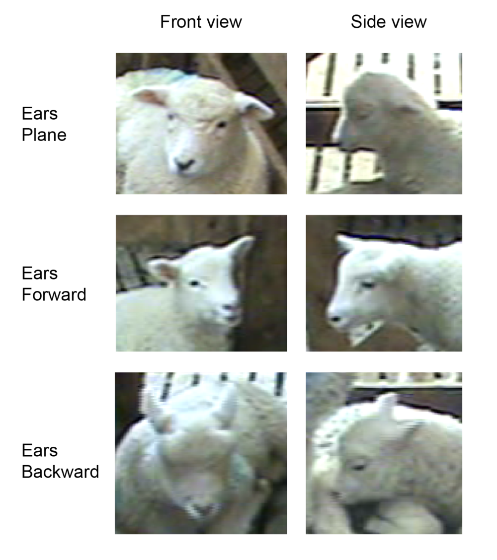 Examples of the various ear postures displayed by lambs.