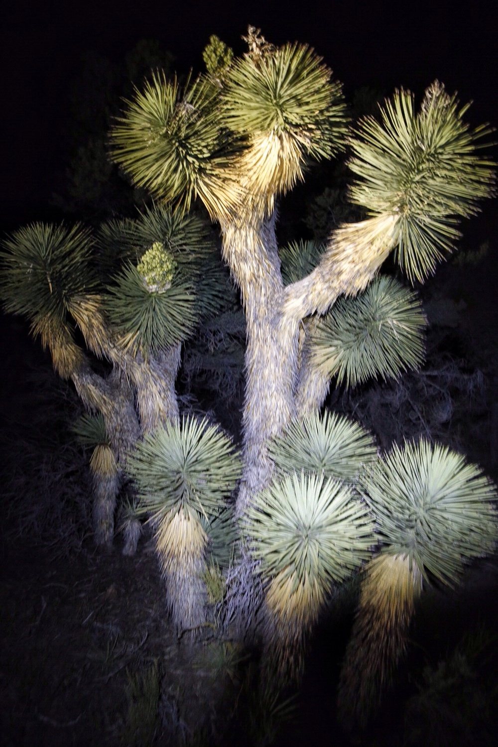 A Joshua tree as night fell.