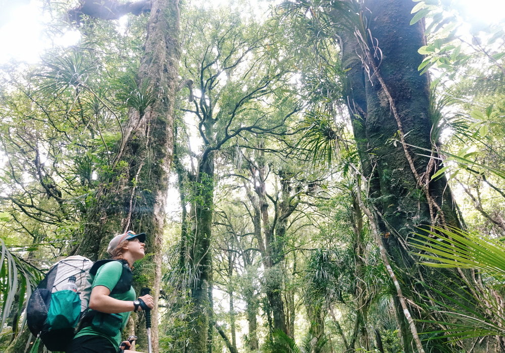 Heading up Pirongia, the sunlit forest covered in vines.    photo/ Jonathan