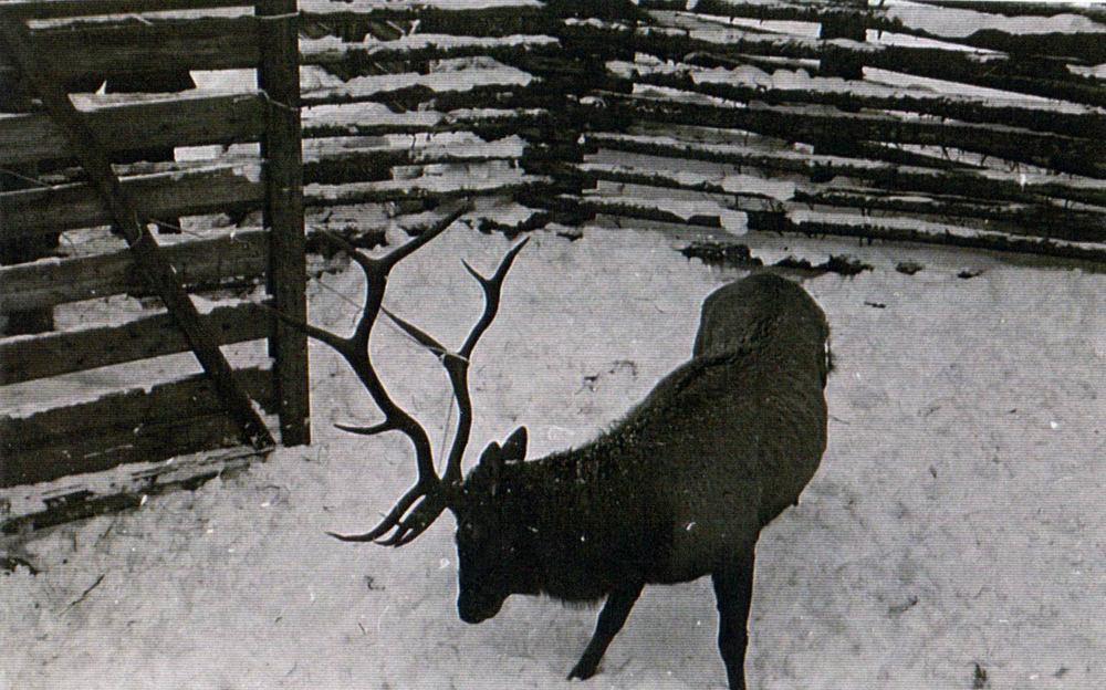 elk-transplant-1970-03.jpg